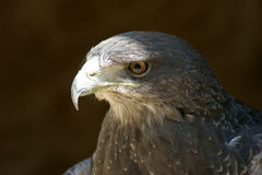 Chilenischer Adler stockfotos