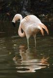 Chilenischer Flamingo Stockbilder
