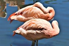Chilenischer Flamingo am Phoenix-Zoo, Arizona-Mitte f?r Erhaltung der Natur, Phoenix, Arizona, Vereinigte Staaten lizenzfreie stockfotografie