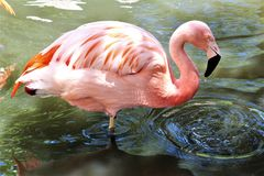 Chilenischer Flamingo am Phoenix-Zoo, Arizona-Mitte f?r Erhaltung der Natur, Phoenix, Arizona, Vereinigte Staaten stockfoto