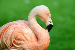 Chilenisches Flamingo-Porträt Lizenzfreie Stockfotos