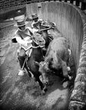 Chilenisches Rodeo, Huasos, das einen Ochsen in den Medien Luna bearbeitet Lizenzfreie Stockfotos