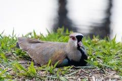 Chilensis meridional en el lago en Barra da Tijuca Forest, Rio de Janeiro Brazil del Vanellus de la avefría fotos de archivo libres de regalías