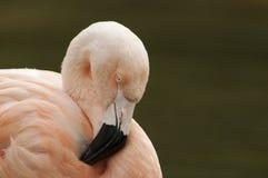 Chilensk flamingo (den Phoenicopterus chilensisen)  fotografering för bildbyråer