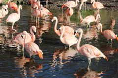 Chilensk flamingophoenicopteruschilensis Arkivfoto