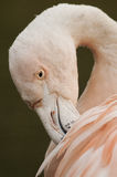 Chilensk preeni för flamingo (den Phoenicopterus chilensisen) royaltyfri bild