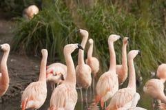 Chilenska flamingo Arkivfoton