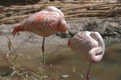 Chilenska Flamingos Fotografering för Bildbyråer