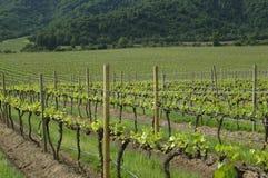 chilenska vingårdar Arkivfoton