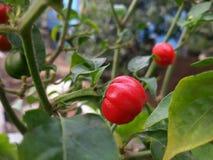 chili красный s Стоковое Изображение RF