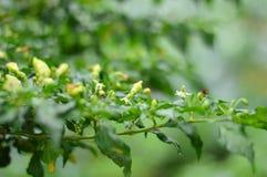 chili свежий Стоковые Фотографии RF