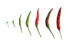 Chili. Fresh chili from flower to dry chili Stock Photography