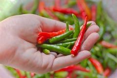 Рука женщины держа перцы chili Стоковые Изображения RF