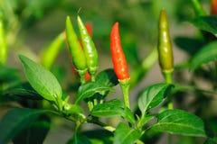 Chili Стоковые Изображения RF
