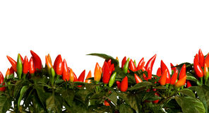 Chili border. Isolated on a white Stock Images