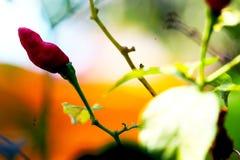 Chili czerwony kolor 2 zdjęcie stock