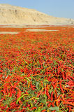 Chili drying outdoor Royalty Free Stock Image