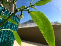 Chili Flower d'intérieur images libres de droits