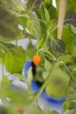Chili fruits Royalty Free Stock Photography