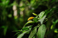Chili on. In garden backyard my chili is goin to eat green leaf royalty free stock photography