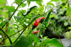 Chili in garden organic Stock Images