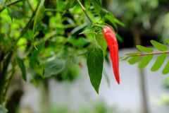 Chili in garden organic Stock Photos