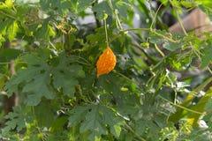 Chili grönsaken, grönsakzucchinin, minnestavlor färgade Royaltyfri Bild