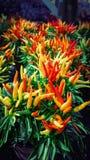 Chili ornamentacyjna pieprzowa roślina Fotografia Stock