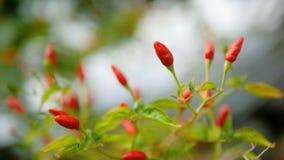 Chili padi z zielonym liściem i trzonami w wietrznym zdjęcie wideo