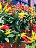 Chili Pepper Arrangements fotografia de stock royalty free