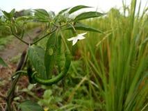 Chili Pepper avec la fleur blanche balançante photos libres de droits