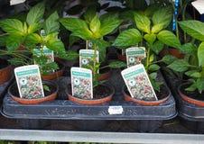 Chili Pepper (Capsicum) plants. Hot Chili Pepper (Capsicum) plants in plastic pots stock photos