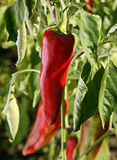 Chili pepper in garden Stock Photo