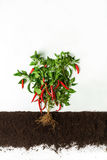 Chili pepper. Growing plant isolated on white background Royalty Free Stock Photos