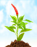 Chili pepper growth Royalty Free Stock Photos