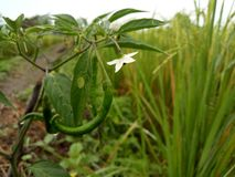 Chili Pepper met bengelende witte bloem royalty-vrije stock foto's