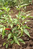 Chili pepper plant. With peppers Stock Photos
