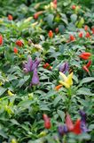 Chili pepper plant. Purple, red and yellow  chili pepper growing on a plant Royalty Free Stock Photos