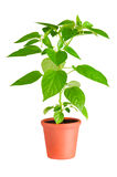 Chili Pepper Plant Stock Images