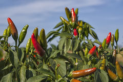 Chili pepper plant Stock Image