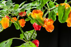 Chili pepper plant Royalty Free Stock Photography