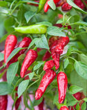 Chili pepper plant Royalty Free Stock Photos