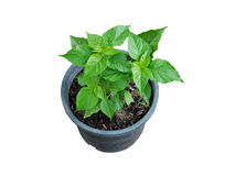 Chili pepper plant growing in pot. Chili pepper plant growing in pot on white background Stock Photos