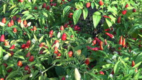 Chili pepper plant growing in vegetable garden stock video