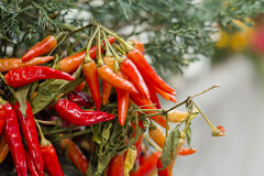 Chili Pepper Plant Stock Photos
