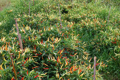 Chili Pepper Plantation Stock Images