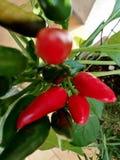 Chili Pepper rosso e foglie verdi macro immagini stock