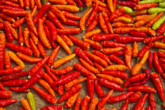 Chili peppers. Are laying in the sun for drying Royalty Free Stock Images