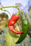 Chili Peppers Royalty Free Stock Image