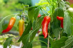 Chili peppers on bushes in garden royalty free stock photos
